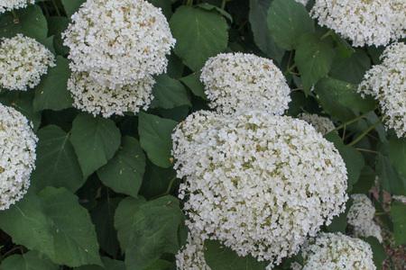 hydrangeaceae: White Hortensia (Hydrangea) flower of order Cornales Hydrangeaceae flower