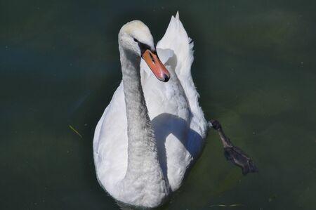 swimming bird: Swan aka Cygnus bird animal swimming in a lakel Stock Photo