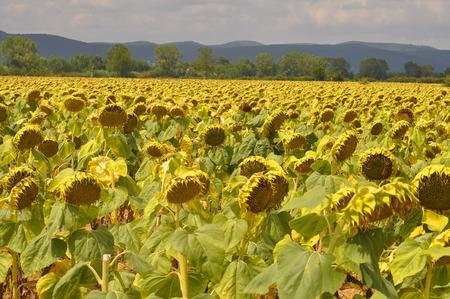 helianthus: Field of Yellow Helianthus Annuus aka Sunflower flower