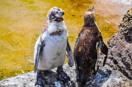 jackass: High dynamic range (HDR) African penguin (Spheniscus demersus) aka jackass penguin or black footed penguin bird animal Stock Photo