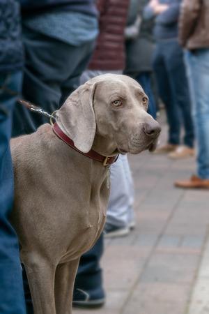 Big dog on a leash the street Stock Photo