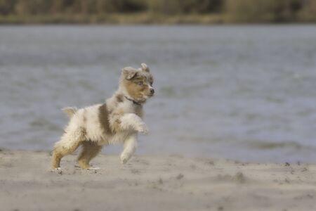 Australian shepherd puppy jumping