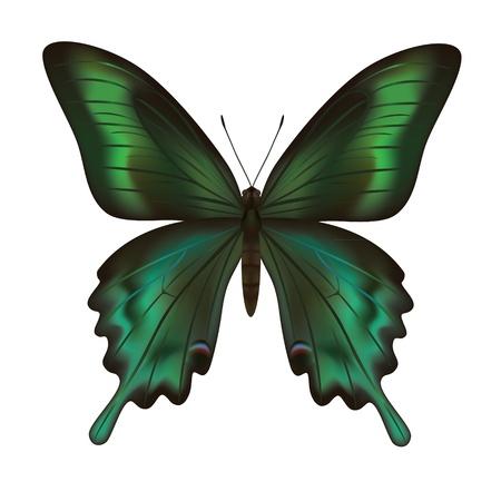 silhouette papillon: Beau papillon vert réaliste isolé sur fond blanc