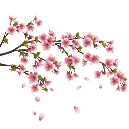 sakura flowers: Realistic sakura blossom - Japanese cherry tree with flying petals isolated on white background