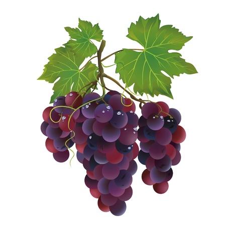 Réaliste raisin noir à des gouttes d'eau isolé sur fond blanc