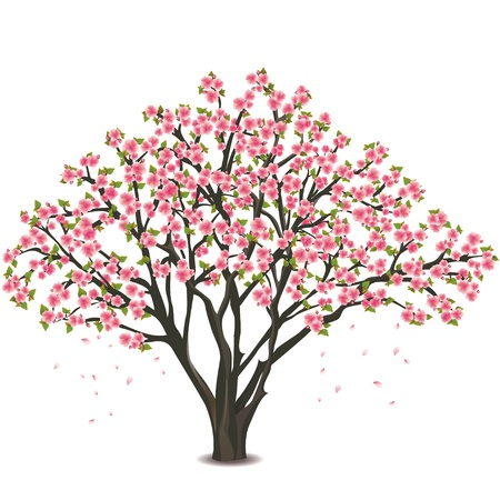 sakura flowers: Sakura blossom - Japanese cherry tree, isolated on white background Illustration
