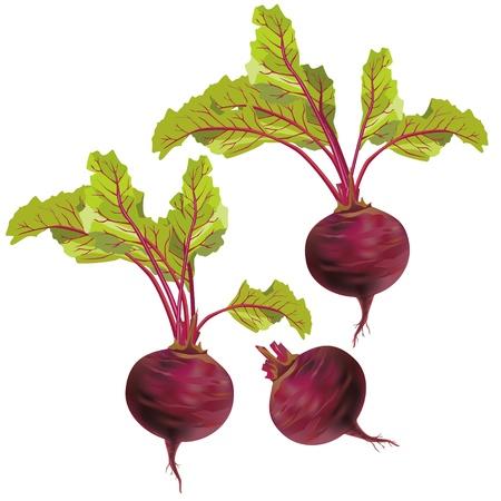 betabel: Juego de remolacha relistic verduras con hojas verdes aisladas sobre fondo blanco, vector