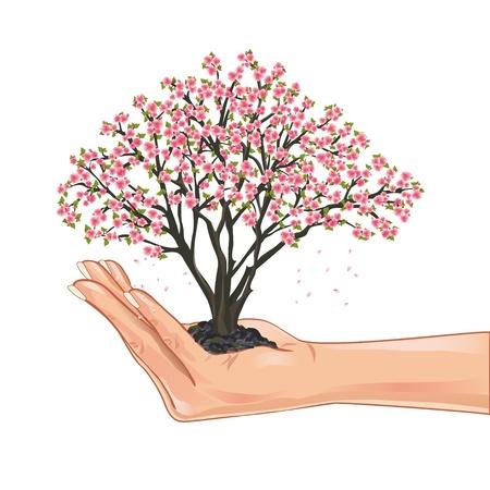 Mano que sostiene una flor de cerezo, cerezo japonés, aisladas sobre fondo blanco