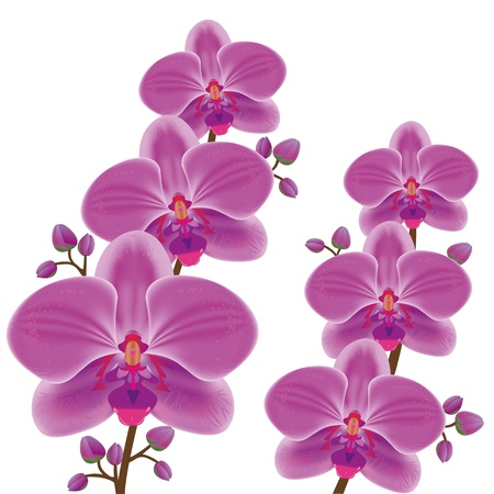 Exotic flower orchid isolated on white background, vector Vector