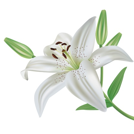 White lily flower realistic, isolated on white background, vector Illustration