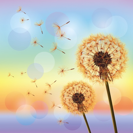 Flowers dandelions on background of sunset  Light nature background, vector Vector