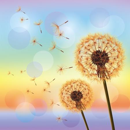 Flowers dandelions on background of sunset  Light nature background, vector Illustration