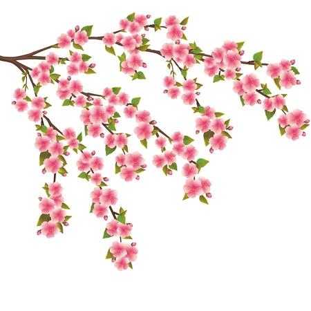 kersenbloesem: Sakura bloesem realistische vector-Japanse kersenboom geïsoleerd op witte achtergrond