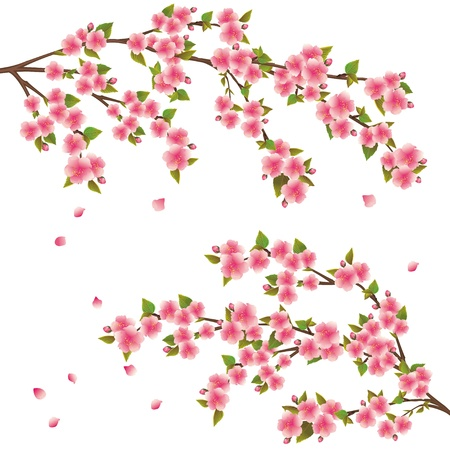 cherry branch: Realistic sakura blossom - Japanese cherry tree with flying petals isolated on white background