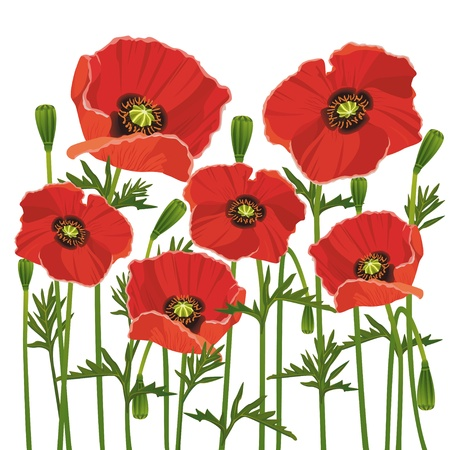 Flowers red poppies isolated on white background, vector Vector