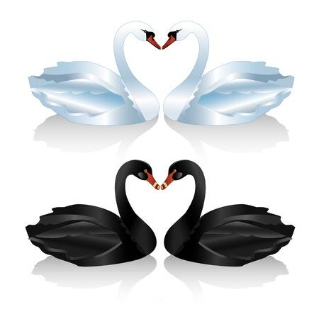 cisnes: Juego de cisnes blancos y negro sobre fondo blanco, ilustración vectorial Vectores