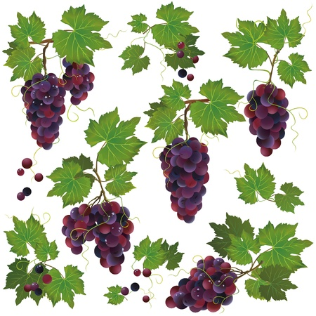 grapevine: Set of realistic black grape with water drops isolated on white background Illustration