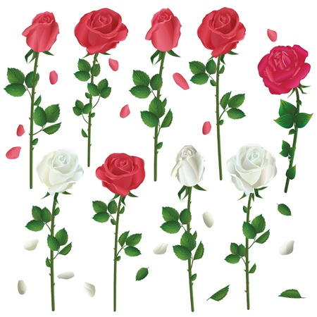 Set of flowers white and red roses isolated on white background  Vector illustration Stock Vector - 12956084