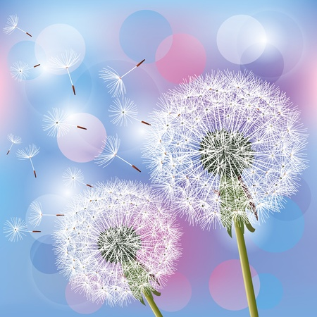 Flowers dandelions on light blue - pink background, vector illustration. Place for text Vector