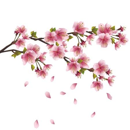Sakura flor rosa - Árbol de cerezo japonés con pétalos volando aisladas sobre fondo blanco Ilustración de vector