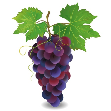 Realista uva azul con hojas verdes aisladas sobre fondo blanco ilustración vectorial, Vectores