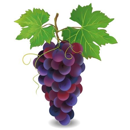 Realistische blauwe druif met groene bladeren op een witte achtergrond, vector illustratie