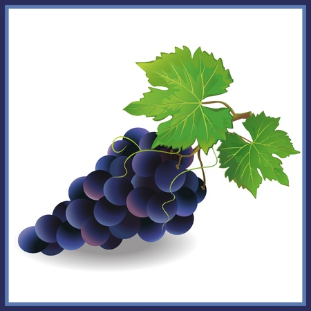 fruitful: Realistic black grape with green leaves, isolated on white background  Vector illustration