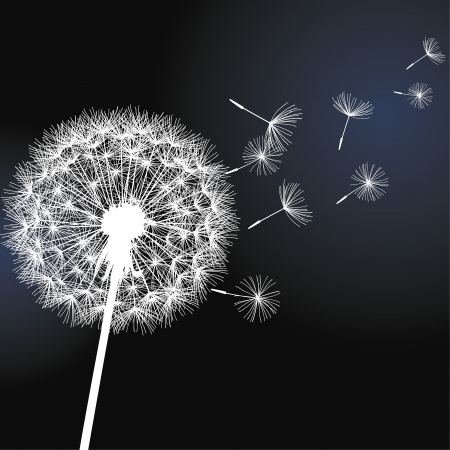 Flower dandelion white on black background  Vector illustration Çizim