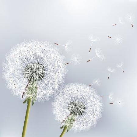 gray backgrounds: Fondo floral con estilo con dos flores de diente de le�n