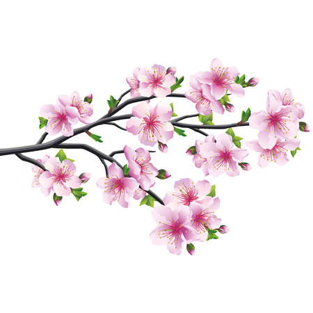 Cherry blossom pink - violet, Japanese tree sakura isolated on white background illustration