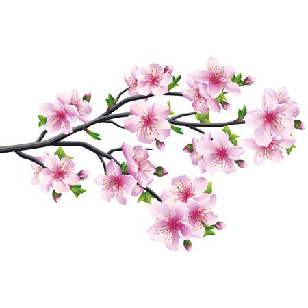 ramos de flores: Los cerezos en flor rosa - violeta, �rbol de sakura japon�s aislado en el fondo blanco Ilustraci�n