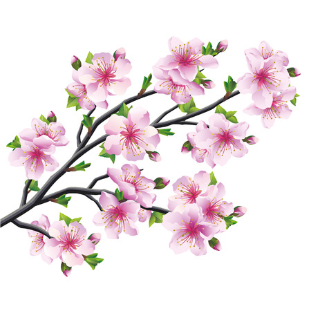 Japanese tree sakura, pink cherry blossom isolated on white Vector illustration Vector