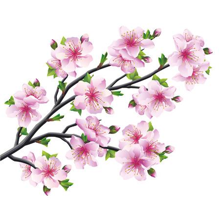 fleur cerisier: Sakura japonais d'arbre, fleurs de cerisier rose isolé sur blanc Vector illustration