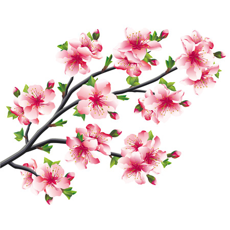 Pink cherry blossoms branch, Japanese tree sakura isolated on white background  Vector illustration Vector