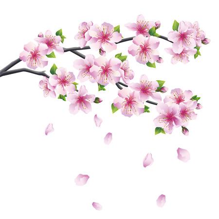 Blühender Zweig der Kirschblüte - japanischer Kirschbaum mit fallenden Blütenblatt Schöne Kirschblüte rosa - violett, isoliert auf weißem Hintergrund Vektor-Illustration Standard-Bild - 29121011