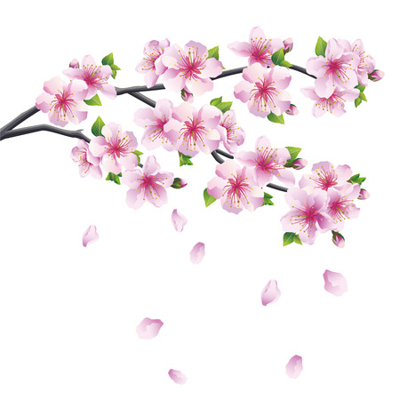 Blossoming branch of sakura - Japanese cherry tree with falling petal  Beautiful cherry blossom pink - violet, isolated on white background  Vector illustration Vector