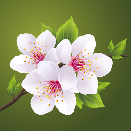 Blossoming branch of Japanese cherry tree sakura. Beautiful cherry blossom white, isolated on green background. Vector illustration
