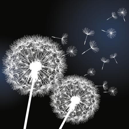 fleurs romantique: Fond �l�gant avec deux fleurs blanches pissenlits sur fond noir Belle branch� peint romantique Vector illustration
