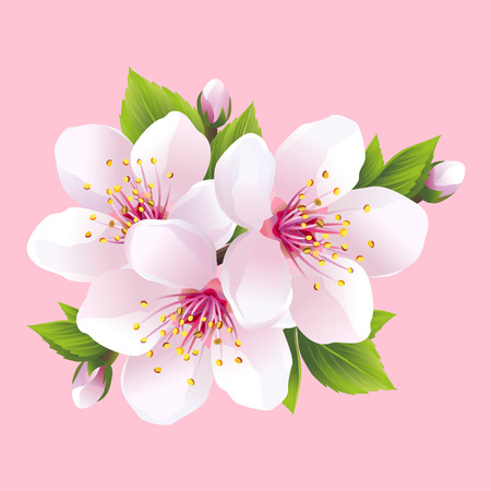 vector artwork: Branch of white blossoming sakura  japanese cherry tree. Beautiful pink cherry blossom isolated on pink background. Stylish floral spring wallpaper. Vector illustration