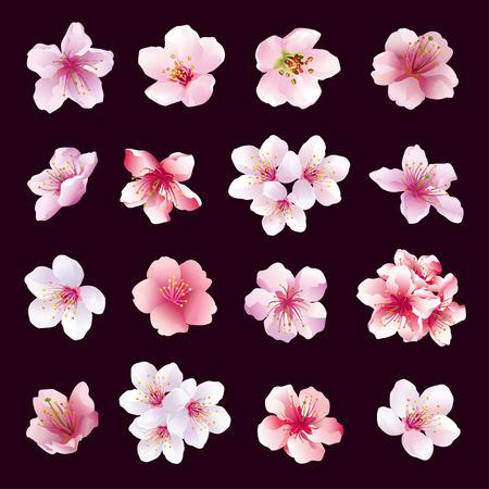 Conjunto de diferentes flores hermosas del cerezo aislados sobre fondo negro. Gran colección de rosa púrpura blanca flor de sakura cerezo japonés. Elementos del diseño floral de primavera. Ilustración vectorial