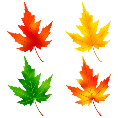 Set of different colorful autumn and summer maple tree leaves isolated on white background. Nature design elements. Vector illustration Illustration