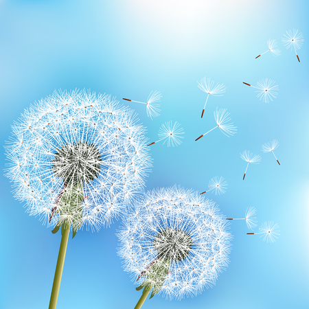 Stylish nature blue background with two flowers dandelions blowing seeds. Trendy floral spring or summer wallpaper. Vector illustration
