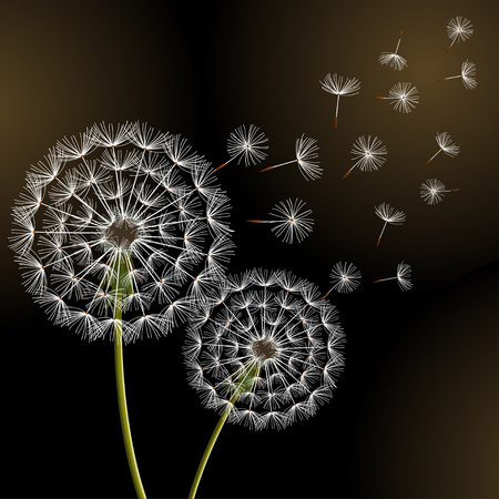 Beautiful stylish nature black background with two dandelions blowing. Floral trendy wallpaper with summer or spring flowers and flying fluff. Greeting card. Modern backdrop, vector