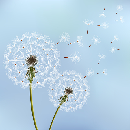 Beautiful stylish nature blue background with two dandelions blowing. Floral trendy wallpaper with summer, spring flowers and flying fluff. Modern backdrop, vector