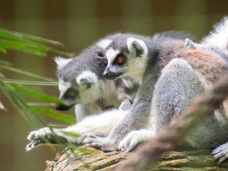 Exemplary of Madagascar wildlife. Lemurs sitting on tree in alert position Фото со стока