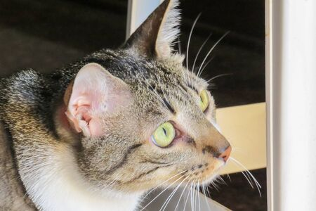 Gray tabby cat with green eyes on alert, with standing ears