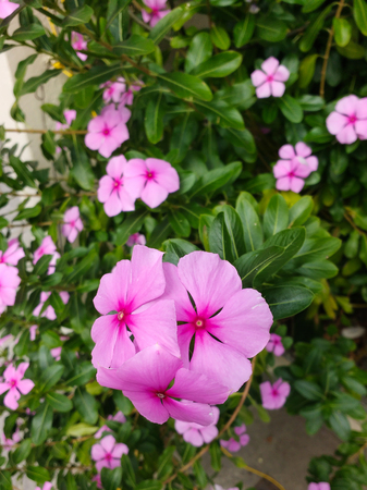 Catharanthus roseus, Gardens with delicate pink flowers of shameless maria, and green leaves in the background.