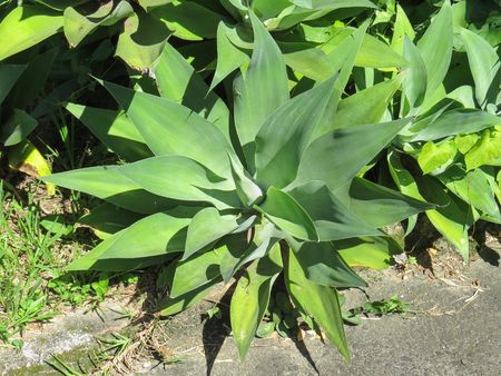Agave Attenuata, ornamental plant with dry climate, used in gardens, in very sunny day.