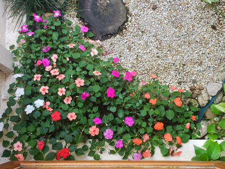 Top view of inner garden of Maria-no shame (Impatiens walleriana), with pebbles in the background.