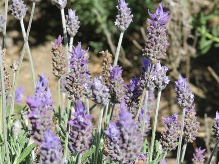 Lavender flower closeup in plantation in sunny day.